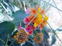Pleines fleurs de couleur dans le jardin Images libres de droits