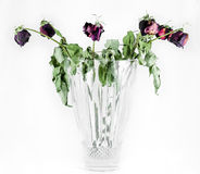 Pleines roses mortes Photographie stock libre de droits