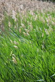 Pleines tiges de grain Photographie stock