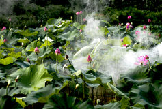 Pleins bourgeons de lotus avec le brouillard enfumé Photographie stock libre de droits
