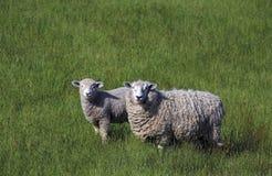 Pleins moutons de brebis d'ouatine avec l'agneau dans la longue herbe verte, Nouvelle-Zélande Photographie stock