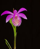 Pleione formosana Stockfotos