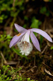 Pleione formosana Stock Photography