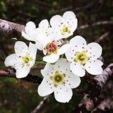 Plena floración Foto de archivo libre de regalías
