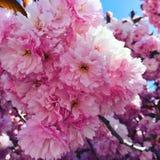 Plena floración Imagenes de archivo