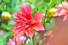 Plena floración descolorada de la flor rosada Foto de archivo libre de regalías