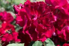 Plena floración Rose roja fresca Fotografía de archivo
