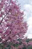 Plena floración Sakura Fotos de archivo libres de regalías