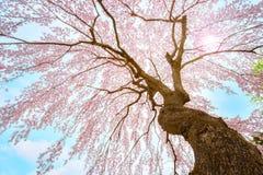 Plena floración Sakura en el jardín japonés conmemorativo de Fujita en Hirosaki, Japón foto de archivo