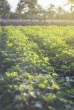 Plenerowa fotografia batat rośliny w polu batata pole z rzędami rośliny Selekcyjna ostrość Zmierzchu moment Racy skutek Obraz Royalty Free