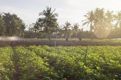 Plenerowa fotografia batat rośliny w polu batata pole z rzędami rośliny Selekcyjna ostrość Zmierzchu moment Racy skutek Fotografia Stock