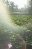 Plenerowa fotografia batat rośliny w polu batata pole z rzędami rośliny Selekcyjna ostrość Zmierzchu moment Racy skutek Zdjęcia Royalty Free