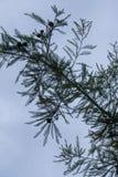 Plenerowa sylwetkowa sosnowa igielna tekstura trzonu gałąź z niebieskim niebem w tle obrazy stock