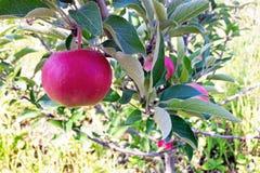 Plenerowa wisząca ozdoba strzelał zawierać czerwonych jabłka na gałąź obrazy stock