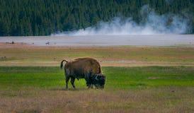 Plenerowy widok ogromnego żubra zwierzęcy pasanie paśnik w Yellowstone parku narodowym, Wyoming fotografia royalty free