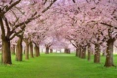Plenitude das flores de cereja Fotos de Stock Royalty Free