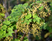 Plentiful blossoming of red currant (Ribes rubrum L.) Royalty Free Stock Image