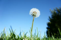Plentiful Dandelion. This is a dandelion simple and clean shoot near the grass.  Good for any business maybe a solar business Stock Photo