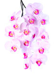 Plentiful flowering of an pink orchid Royalty Free Stock Photos