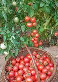 Plentiful fructification of tomatoes Royalty Free Stock Photos