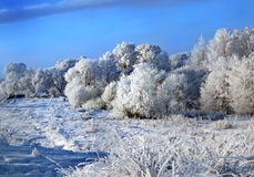 Plentiful hoarfrost on branches of trees Royalty Free Stock Photo