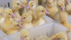 Plenty of baby ducklings kept in separate sections of a plastic box