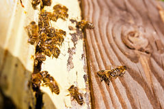 Plenty of bees at the entrance of beehive in apiary. Royalty Free Stock Photography