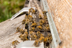 Plenty of bees at the entrance of beehive in apiary. Royalty Free Stock Images