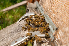 Plenty of bees at the entrance of beehive in apiary. Royalty Free Stock Image