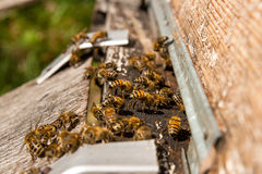 Plenty of bees at the entrance of beehive in apiary. Royalty Free Stock Photos