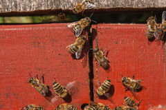 Plenty of bees at the entrance of beehive in apiary. Stock Image