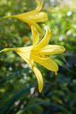Hemerocallis flava Known also as Lemon day-lily, Lemon Lily and Custard Lil royalty free stock photography