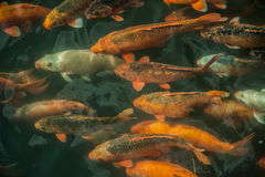 Plenty of colorful Koi fish Royalty Free Stock Photos