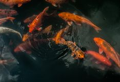 Plenty of colorful Koi fish Royalty Free Stock Photo