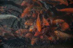 Plenty of colorful Koi fish Royalty Free Stock Photography