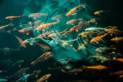Plenty of colorful Koi fish Royalty Free Stock Images