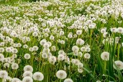 Plenty dandelions Stock Image