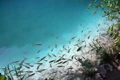 Plenty of fishes in clear water Royalty Free Stock Images