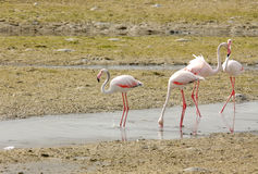 Plenty of food  for Flamingos during low tide Royalty Free Stock Photography