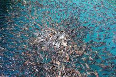 Plenty of freshwater fishes swimming under water - found in sout. Hern Thailand Royalty Free Stock Photo