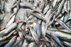 Plenty of frozen fish. Royalty Free Stock Photo