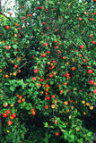 Plenty of fruit on the Apple tree at full frame Stock Image
