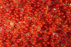 Plenty of fruits of red currant Royalty Free Stock Photo