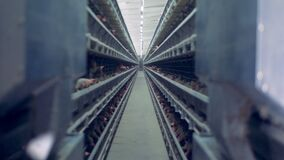 Plenty of hens are being kept in cages in a poultry-house