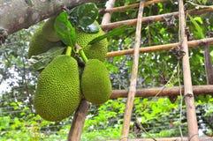 Plenty of jackfruit on the tree in a garden farm in Vietnam Stock Photo