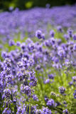 Plenty Lavender in the field. 4 Stock Photography