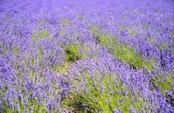 The Plenty of lavender flower Stock Images