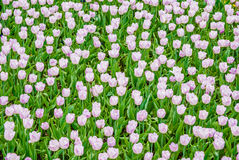Plenty of light lilac tulips in spring Stock Images