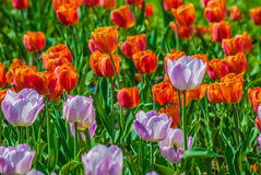 Plenty of light lilac tulips in spring Royalty Free Stock Photos