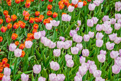 Plenty of light lilac tulips in spring Royalty Free Stock Photo